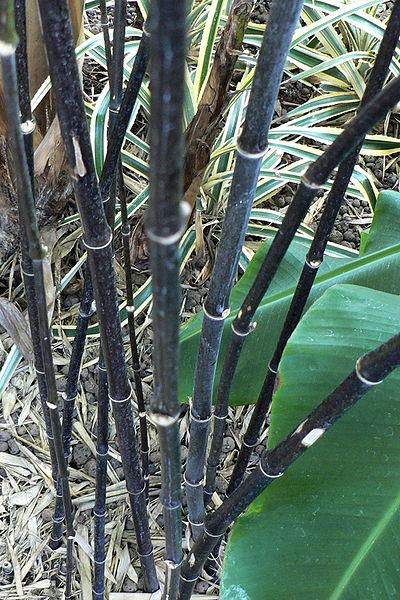 Black_Bamboo_Stems-garden-fence